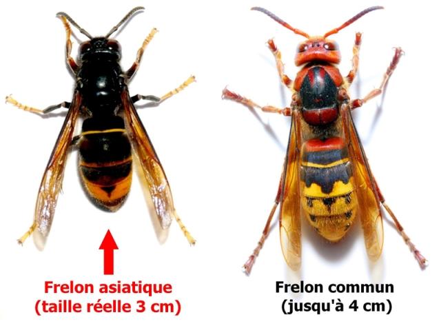 ob_2136cb_frelon-asiatique.jpg